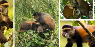 Golden-monkey-trekking