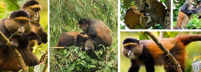 Golden-monkey-trekking