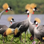 Grey-Crowned-cranes-Jonathan-Rossouw6x4