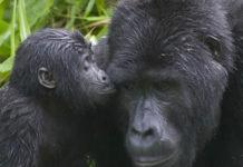 Gorilla-tourism
