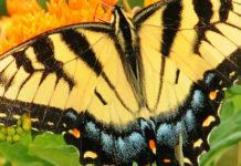 uganda's butterfly