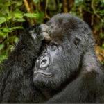 gorilla-africa