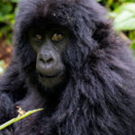 gorilla-safari-rwanda1