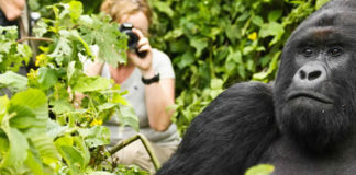 Trekking Gorillas