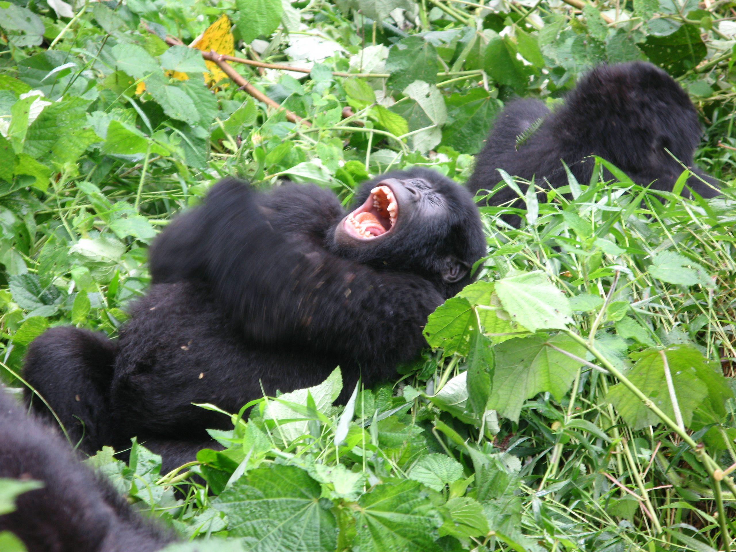 Gorilla trekking in Virunga massif