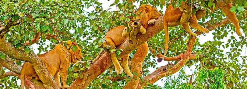 Tree-climbing lions