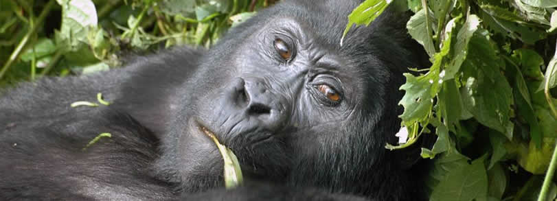 The silverback resting
