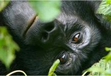 the gorilla resting
