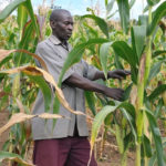 ready-maize