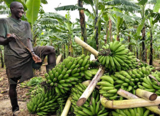 matooke growing in uganda