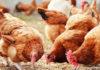 Poultry farming in uganda