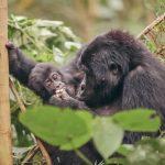 Guide-To-Gorilla-Trekking-Uganda