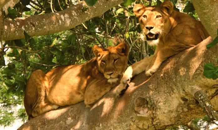 Lion tracking in Uganda
