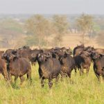 buffaloes-in-Kidepo-Valley-national-park