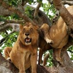tree-climbing-lions-in-Uganda
