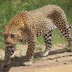 uganda-leopard