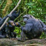 Chimpanzee-tracking-in-Uganda