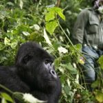 Gorillas-and-covid-19-720×380-1